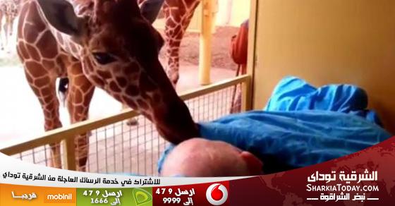 زرافة تودع عاملاُ في حديقة الحيوان على فراش الموت بقبلات مؤثرة