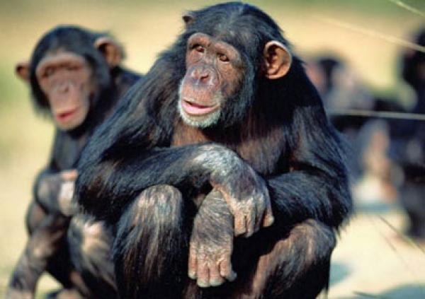 شمبانزي يقود عملية هروب جماعي