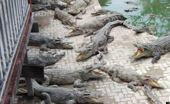 8 تمساح