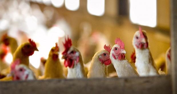 انفلونزا الطيور
