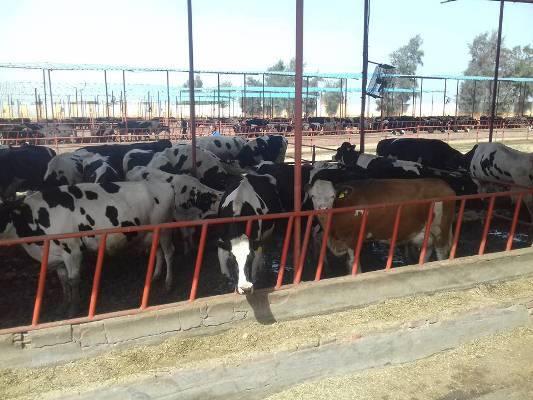 وزير الزراعة ومحافظ الشرقية يتفقدان مشروعاً للثروة الحيوانية بمنيا القمح (2)