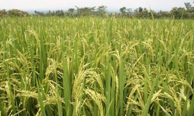 توقعات بانخفاض سعر الأرز 40% الأسبوع المقبل والفائض سيصل لـ1.5مليون طن