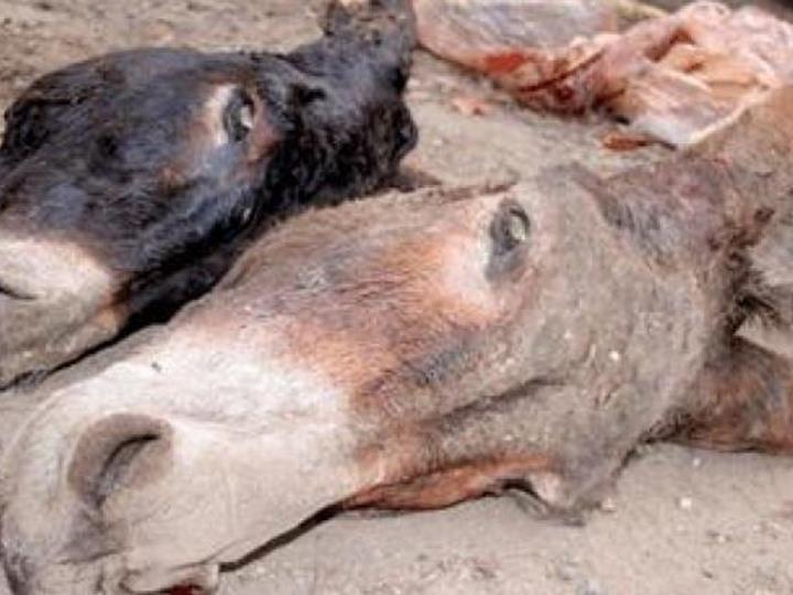 حبس تاجر وصياد لذبحمهما حمارين بمنيا القمح