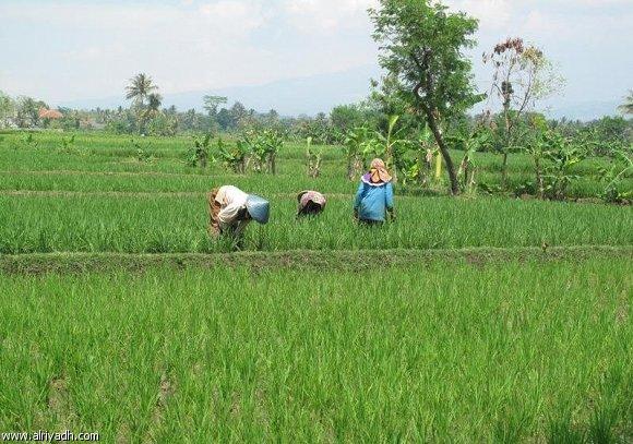 فاقوس يستغيثون من غرامات الأرز