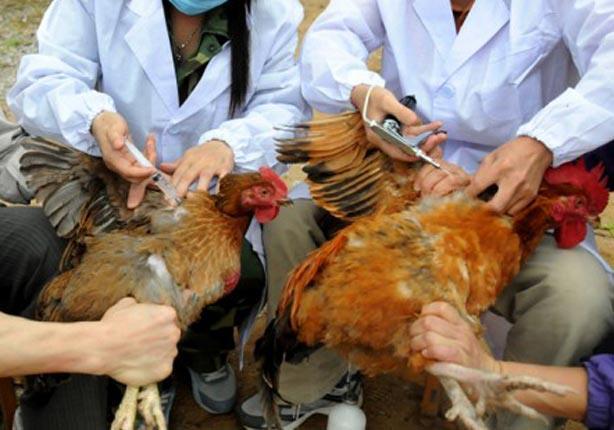حملات إرشادية مكثفة للتوعية بمرض إنفلونزا الطيور بالإبراهيمية