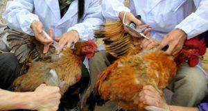 تحصين 298 ألف طائر ضد مرض أنفلونزا الطيور بالشرقيةتحصين 298 ألف طائر ضد مرض أنفلونزا الطيور بالشرقية