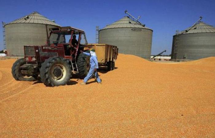 35 طن و 743 كيلو قمح للصوامع والشون منذ بدء موسم الحصاد