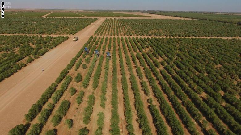 أشجار الزيتون