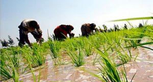 نائب الشرقية: الحكومة وافقت على زراعة الأزر بأبو حماد والقرين