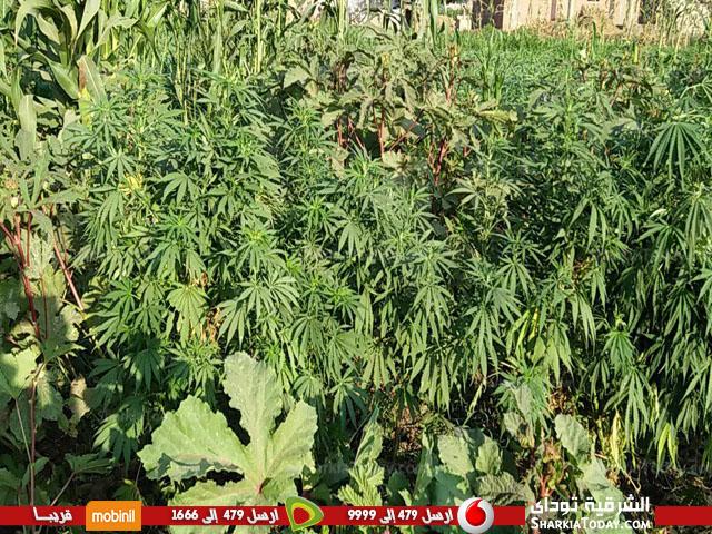 مباحث ههيا تتمكن من ضبط فلاح خصص 5 قراريط لزراعة نبات البانجو المخدر