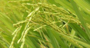 أستاذ وراثة شرقاوي يصل إلي طريقة لزراعة الأرز بمياة قليلة