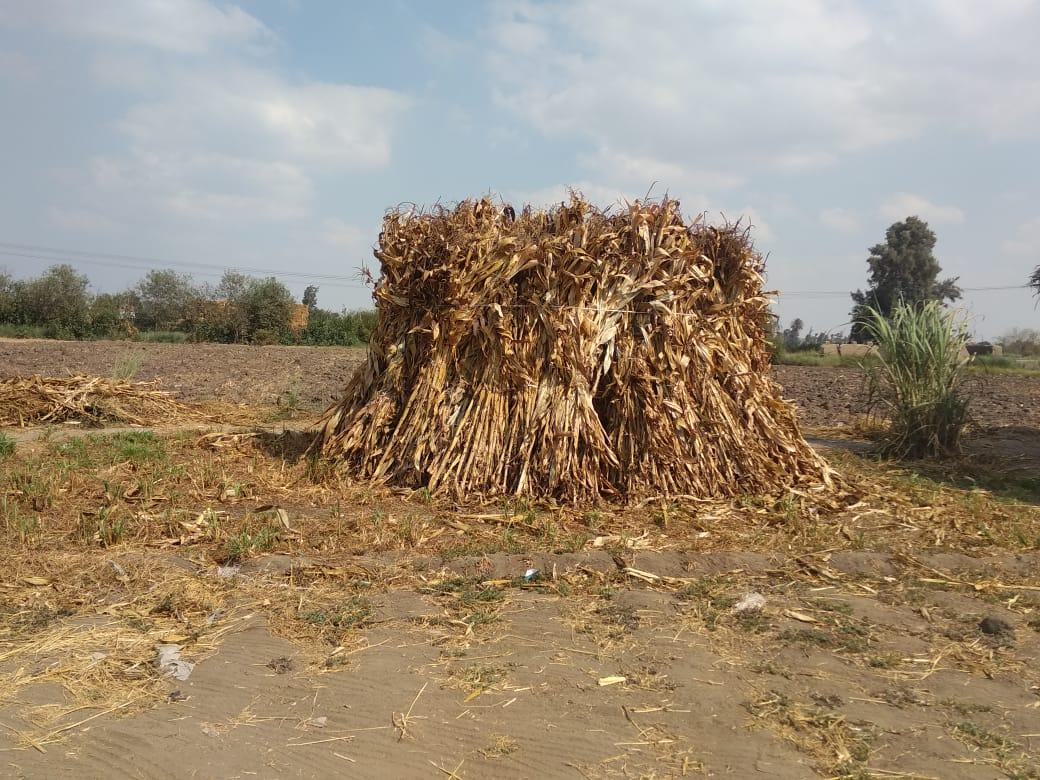 شئون البيئة بالشرقية يتصدى لظاهرة الحرق المكشوف للمخلفات الزراعية