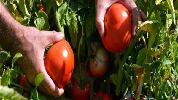 الزراعة تزف بشرى سارة بشأن أسعار الطماطم