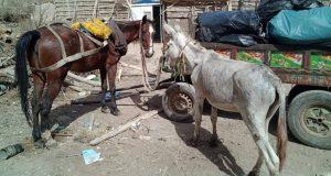 حديقة حيوانات الجيزة تتسلم حمير نباشين القمامة بالزقازيق