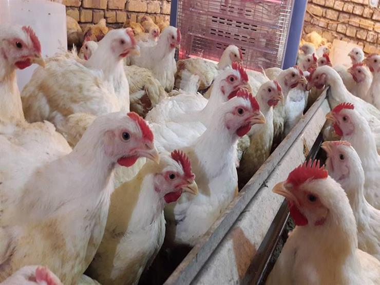 شعبة الدواجن بعد تطبيق حظر تداول الطيور الحية