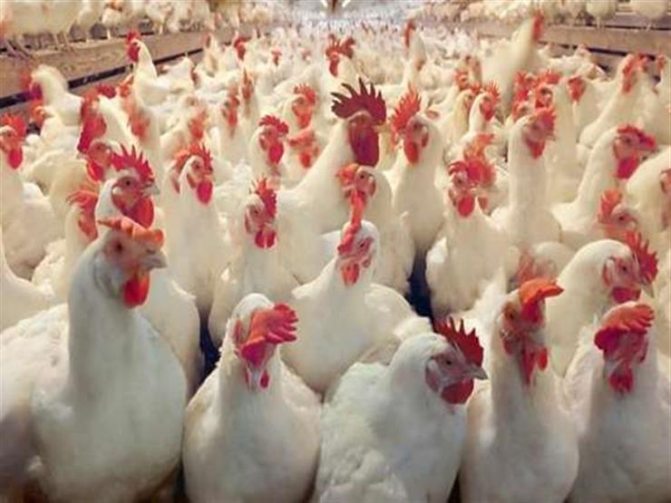 الزراعة تعلن موعد تطبيق حظر تداول الدواجن الحية
