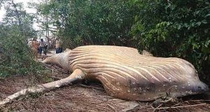 حوت نافق في الغابة طوله 11 متر يحير العلماء