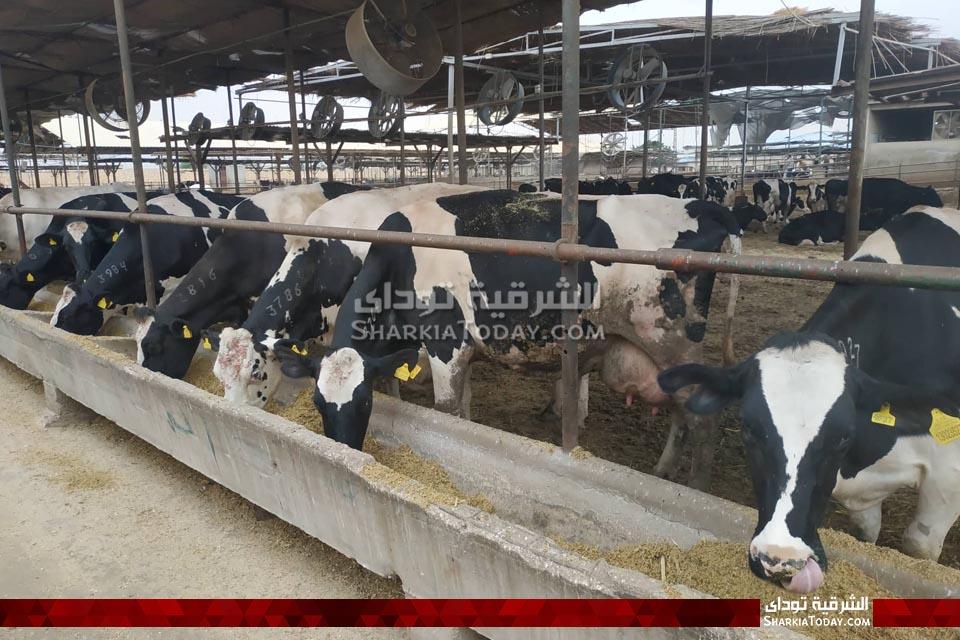 مزارع الزراعة لتربية المواشي بأبو حماد